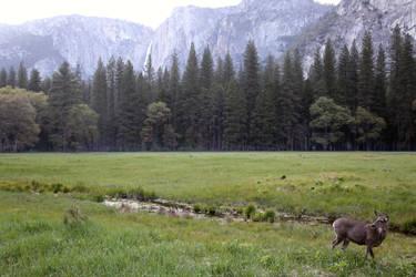 Yosemite Deer by smackmeister