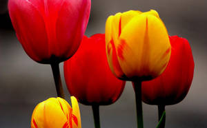 Tulips I by PassionAndTheCamera
