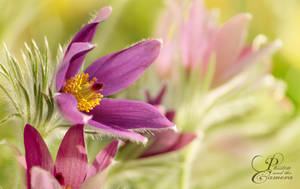 Pasque Flower by PassionAndTheCamera