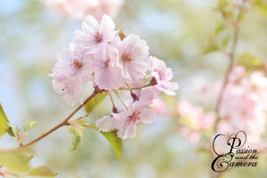 Cherry Blossoms by PassionAndTheCamera