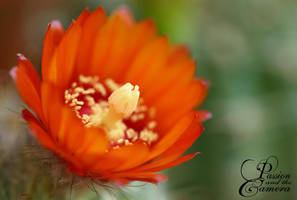 Cactus Flower Season by PassionAndTheCamera