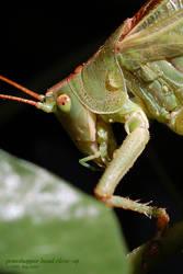 grasshopper head close-up by Oli4D