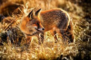 Fox by JoostvanD