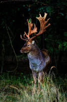 Deer by JoostvanD