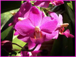 Fanciful Fuchsia Phalaenopsis by hotrats51
