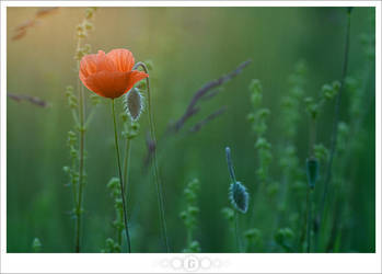 Poppy in the Sunset by janograf