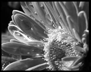 Grey Gerber Daisy by Ebsolon