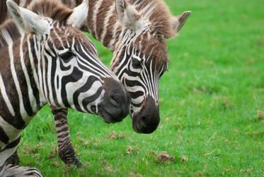 Zebras by paldorslate