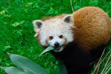 Red Panda II by paldorslate