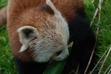 Red Panda III by paldorslate