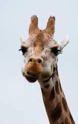 Giraffe II by paldorslate