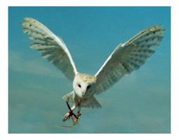 Barn Owl by Tinlad