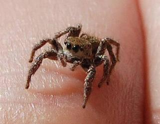 Daring Jumping Spider baby by SomeKindOfNobody