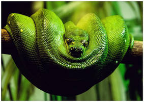 Green Tree Python by ciseaux