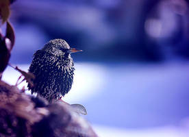 Starling in Winter by ciseaux