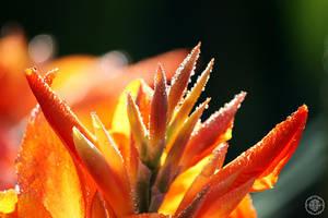 orange dew by ciseaux