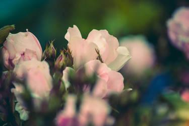 sweet rose by ciseaux