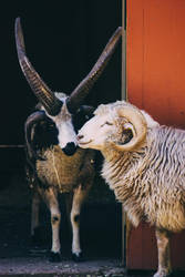 Jacob sheep and ram by ciseaux