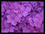 Purple by JVre