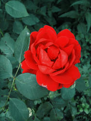 rose by NekoMimiAlice
