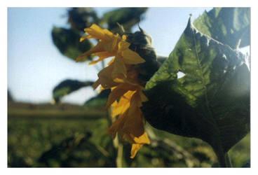 Sunflower by Yendza