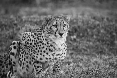 Cheetah by Neomae