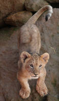 African Lion cub by dark-angel-11309