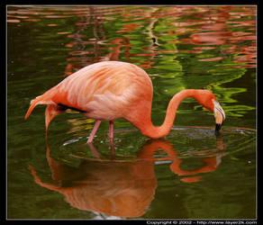 Flamingo Reflections by reflex55