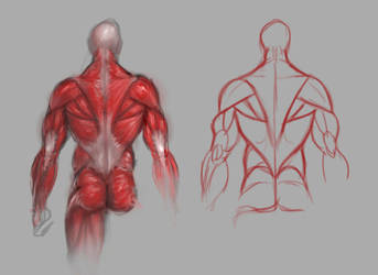 Back muscles study by GuillermoRamirez