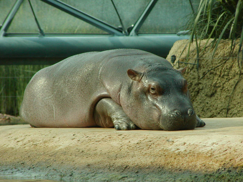 little hippo II by two-ladies-stocks