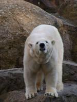 polar bear II by two-ladies-stocks