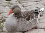 grey goose II by two-ladies-stocks