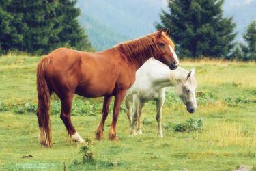 Romanian horses by DominikaAniola