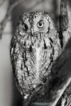 Little Owl by DominikaAniola
