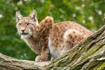 Lynx by DominikaAniola