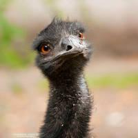 Emu by DominikaAniola
