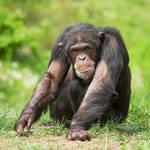 Chimpanzee by DominikaAniola