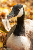 Autumn Goose by DominikaAniola