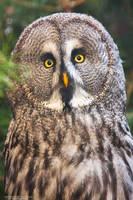 Great Grey Owl by DominikaAniola