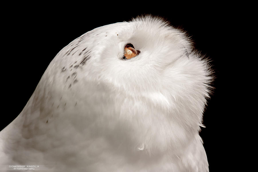 Snowy Owl by DominikaAniola