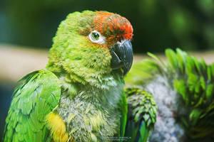 Nanday Parakeet by DominikaAniola