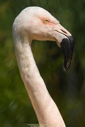 Flamingo by DominikaAniola