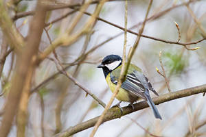 The Great Tit by DominikaAniola