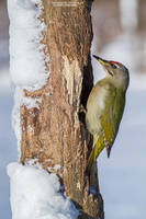 Grey-Headed Woodpecker by DominikaAniola
