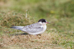 Young Common Tern by DominikaAniola