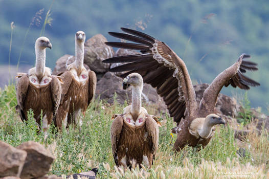 Griffon Vulture by DominikaAniola