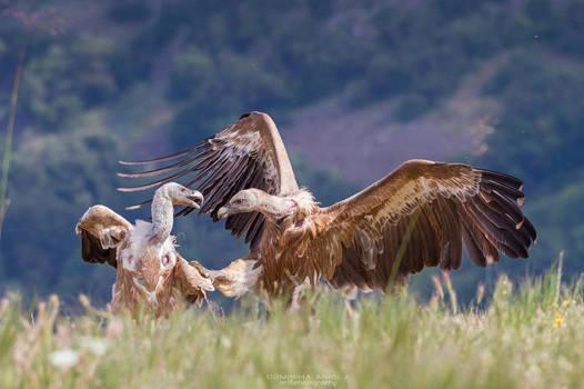 Karate Vulture by DominikaAniola