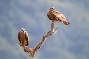 Black Kites by DominikaAniola