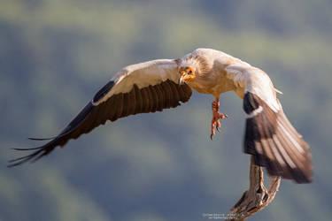 Egyptian Vulture in flight by DominikaAniola