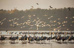 Common Cranes At Sunrise by DominikaAniola